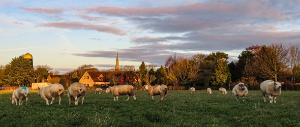 A view showing the Mill and Church spire as a background with a field of sheep in the foreground